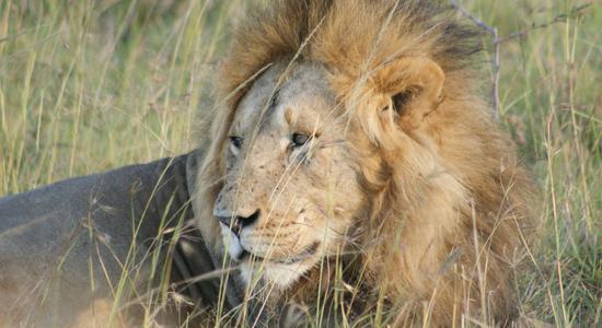 El león estrella de la visita a Kenia y Tanzania