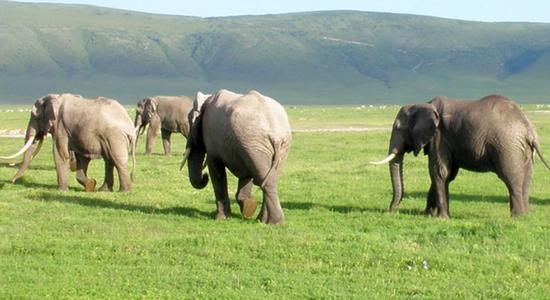 Gran manada de elefantes en Tanzania