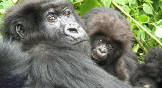 Conocer los grandes gorilas de las montañas