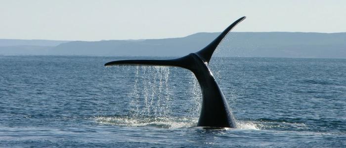 La ballena franca en la Patagonia argentina