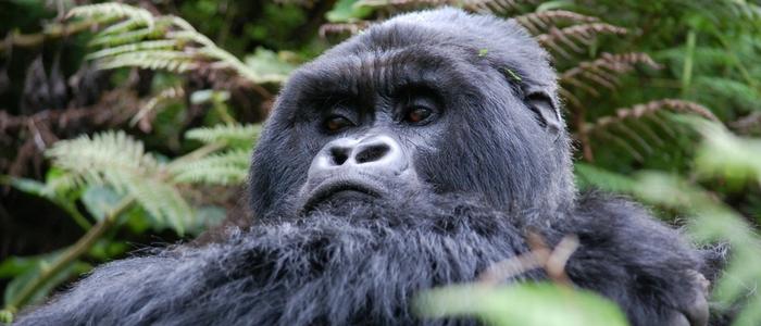 Visita a los gorilas de montaña en Ruanda
