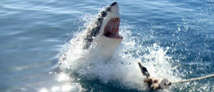 Avistamiento de tiburón blanco desde Ciudad del Cabo