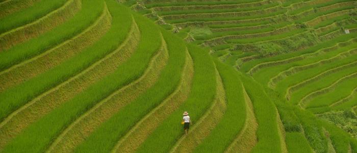 ver arrozales Vietnam