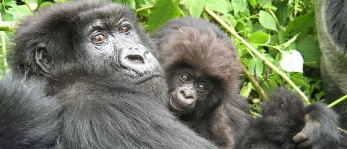 Gorilas de montaña un tesoro animal de Uganda
